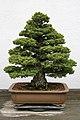 Japanese White Pine (Pinus parviflora) Zui-sho (3505584982).jpg