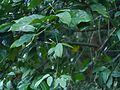 Jasminum azoricum (8290284357).jpg