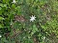 Jasminum nitidum-Angelwing Jasmine, Royal jasmine.jpeg