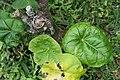 Jatropha podagrica 24zz.jpg
