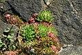 Jovibarba globifera in natural monument Calvary in Motol in spring 2012 (3).JPG