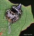 Jumping spider (7432686736).jpg