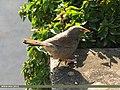 Jungle Babbler (Turdoides striata) (15893112812).jpg