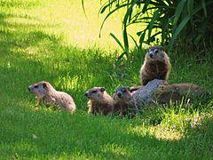Juvenile groundhog siblings in early June DSC06244....jpg