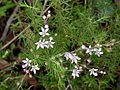KNP philotheca spicata-3.jpg