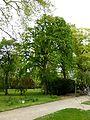 K ND 503.03 Baumhasel 1.jpg