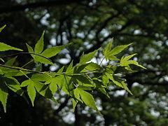 Kaede leaf spring.JPG