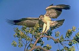 змеелов птица фото