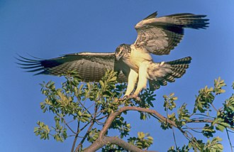 Martial eagle - Immature bird