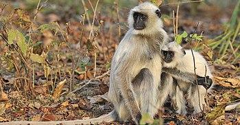 Kanha national park languri Monkeys.jpg