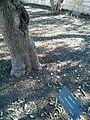 Kazasov tree.jpg