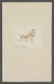 Kend - Print - Iconographia Zoologica - Special Collections University of Amsterdam - UBAINV0274 066 01 0088.tif