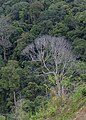 Keningau Sabah Withered-tree-in-rainforest-01.jpg
