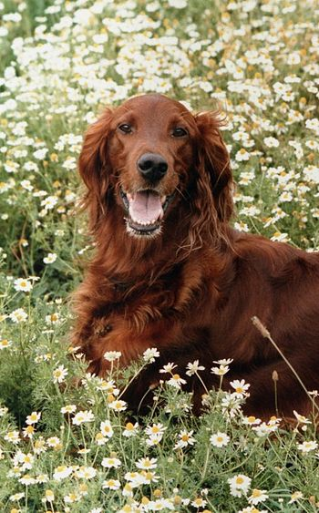 Beautiful dog, scared of gun shots. Irish Setter