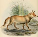 Keulemans hill fox
