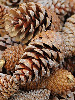 240px kiefer zapfen, pine cones 09
