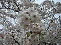 Kimiidera cherry blossoms - panoramio.jpg