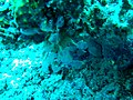 Klavelina moluccensis at Kapoposang Island.jpg