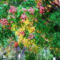 Koelreuteria paniculata with fruit (2855680599).jpg