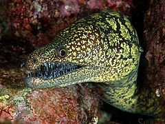 Moray eel wikipedia for Are fish considered animals