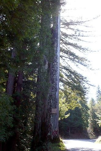 Korbel, Humboldt County, California -  Old Arrow Tree