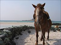 Korea-jejudo-pony-01.jpg