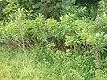 Korina 2009-07-15 Amorpha fruticosa.jpg