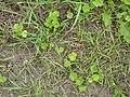 Korina 2010-08-25 Heracleum mantegazzianum 4.jpg
