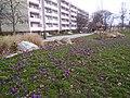 Kwiaty w parku Rataje w Poznaniu - marzec 2019 - 3.jpg