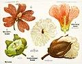 Léopold Kny et Albert Peter-Planches botaniques murales (2) retusche.jpg
