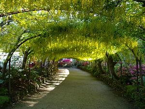 Bodnant Garden - Laburnum Arch, Bodnant Garden