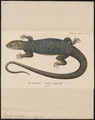 Lacerta ocellata - 1700-1880 - Print - Iconographia Zoologica - Special Collections University of Amsterdam - UBA01 IZ12400097.tif
