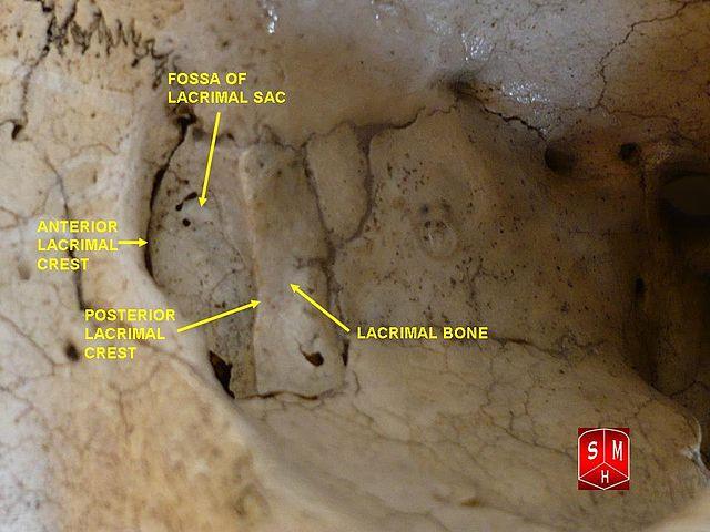 Czeshop Images Lacrimal Bone Anatomy