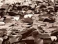 Laguna lotos valdivia.jpg