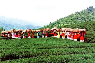 Women in Iran - Tea harvest in Lahijan