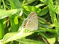 Lampides boeticus - Pea Blue at Aralam Wildlife sanctuary during Aralam butterfly survey 2020 (4).jpg