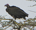 Lappet-faced Vulture, Serengeti.jpg