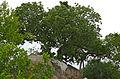 Large-leaved Rock Fig (Ficus abutilifolia) (16437763797).jpg