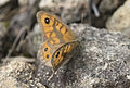 Lasiommata megera - Wall brown 03.jpg