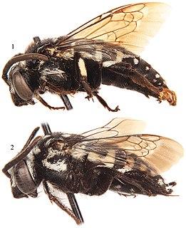 <i>Thyreus denolii</i> species of insect