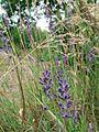 Lavender flowers lavandula.jpg