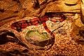 Le Bugue - Aquarium du Périgord noir - Faux serpent corail - 001.jpg