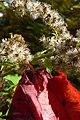 Leaf and Catkins (2920450769).jpg