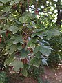 Leaf of Acer monspessulanum 01.jpg