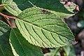 Leaf of unidentified Cornus.jpg