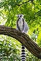 Lemur (36901215556).jpg