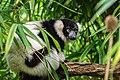 Lemur (37089578265).jpg