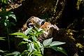 Lemur (40366619700).jpg