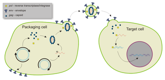 Gene silencing - Basic mechanism used by viral vectors to deliver genes to target cells. Example shown is a lentiviral vector.