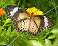 LeopardLacewing-female.jpg